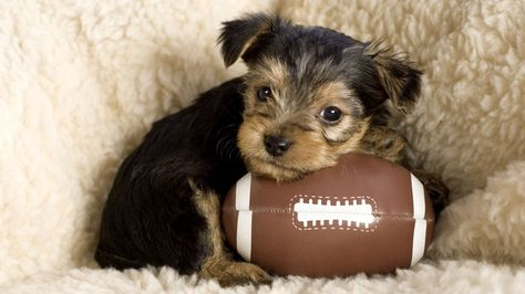 11 Best Pets For College Students Tips Before You Buy Yorkshire Terrier Puppies Best Dog Breeds Yorkshire Terrier