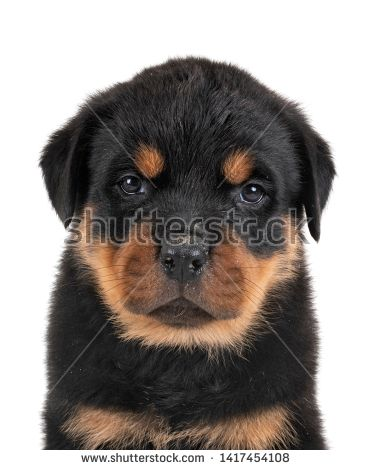Stock Photo Puppy Rottweiler In Front Of White Background Dogs