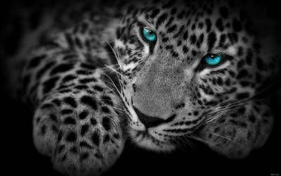 Egfox Leopard8 Blue Eye Hd By Eg Art Wild Cats Animal Print Wallpaper Hd Cool Wallpapers