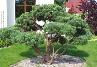 Japanese Gardening Alberi