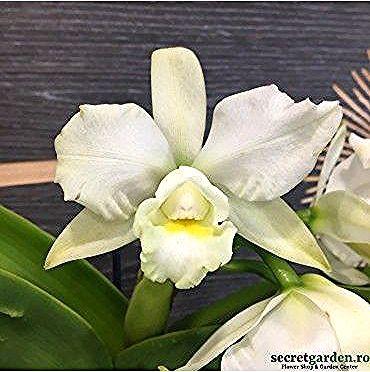 Orhidee Cattleya Alba Special Cattleya Dendrobium Orchids Flower Quotes