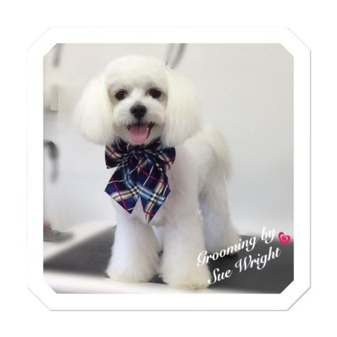 Asian Fusion Maltese Dog Grooming Asian Inspired Trim By Sue