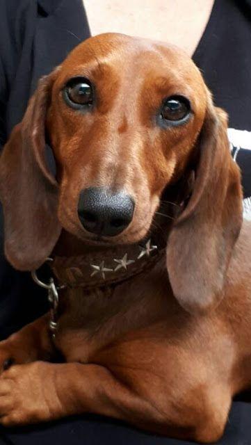 Adopt Minnie On Weenie Dogs Dachshund Rescue Dog Adoption