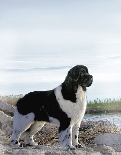 Dogs Breeds How To Properly Care For Your Dog Newfoundland Dog