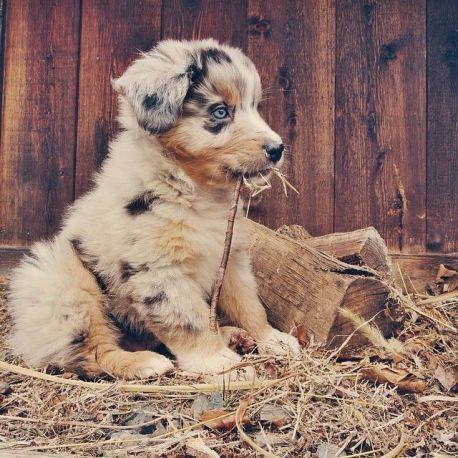 Best Puppies Cutest Breed 68 Puppiescutest Cute Baby Animals Cute Animals Aussie Puppies
