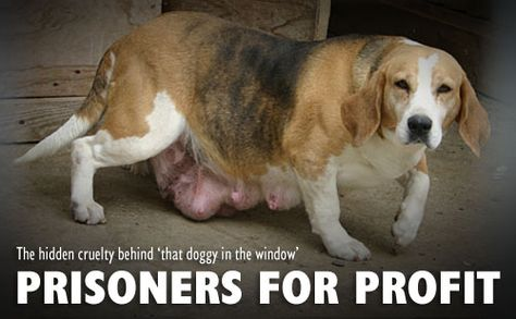 Puppy Farm Cruelty - The truth behind that 'puppy in the window' the pet industry wants to hide