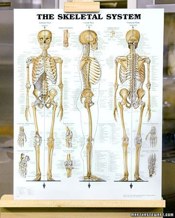 Healthy Bones Human Skeleton Anatomy Skeleton Anatomy Human Bones Anatomy