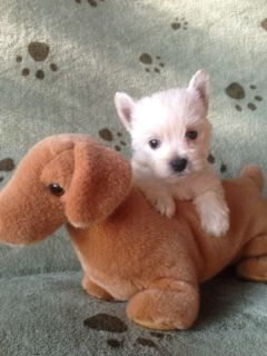 List of Pinterest west highland white terrier puppies for