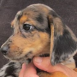 Germantown Maryland Dachshund Meet Groucho A For Adoption
