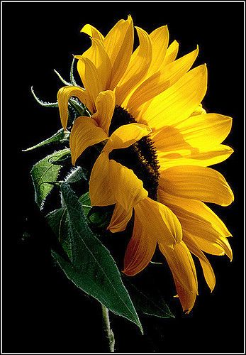 Sunflower | Natural lighting | rogermccallum | Flickr