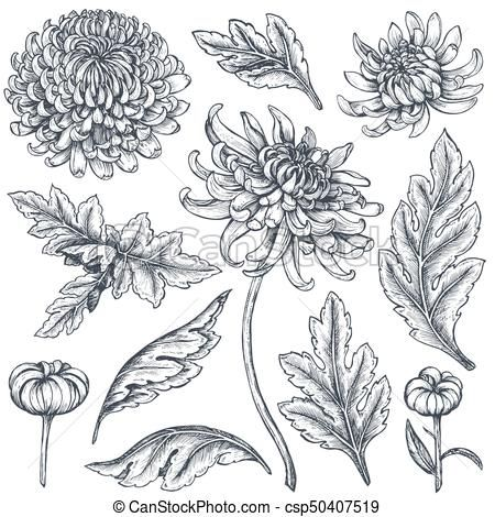 Find Set Hand Drawn Chrysanthemum Flowers Branches stock images in HD and millions of other royalty-free stock photos, illustrations and vectors in the Shutterstock collection. Thousands of new, high-quality pictures added every day. Chrysanthemum Drawing, White Chrysanthemum, Illustration Blume, Botanical Illustration, Crysanthemum Tattoo, Birth Flower Tattoos, Floral Drawing, Flower Sketches, Hand Drawn Flowers