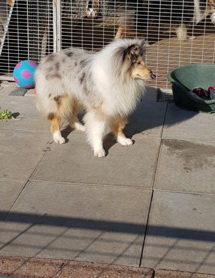 Blue Merle Rough Collie Puppy Collie Puppies Rough Collie Puppy