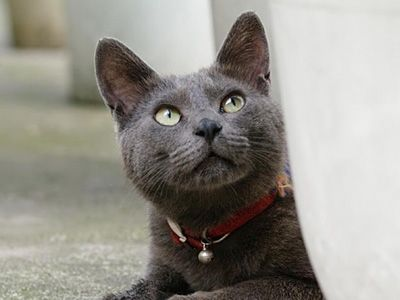 The Korat Is An Inquisitive Affectionate And Highly Sensitive Animal That Forms Extremely Close Bonds With Its Owners And Thriv Korat Cat All Cat Breeds Korat