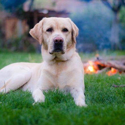 Jolly Dog Labrador Retriever Training Your Dog Labrador