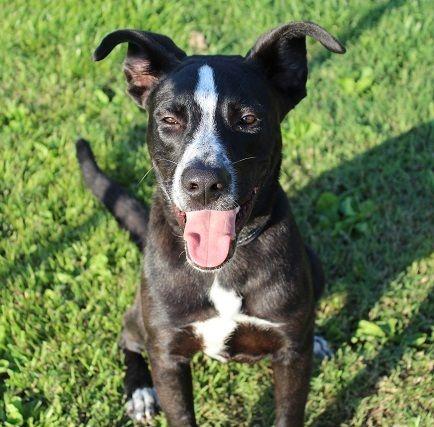Adopt Eli On Dogs Great Dane Mix Pet Adoption