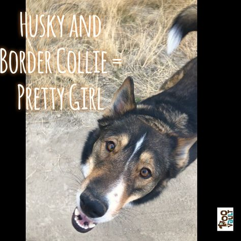 Sounds like a #husky and #bordercollie found sweet sweet love somewhere in #Idaho and created this #beautiful pup. Her face is a nice indicator of her cool markings.  # # #huskymix #bordercolliemix #pupoftheday #dogsofboise #pnwonderdogs #dailypup #aestheticdog #cutepet #nicehuskymix #hiking #hikingwithdogs #hikingdogsofinstagram #dogsofinstagram #keepitwild #adventuredogs #doglife #mydogismy #backcountrypaws #outdoordog #bestwoof #trailmutt #mansbestfriend #dogumented #dogscorner #adventuredogn