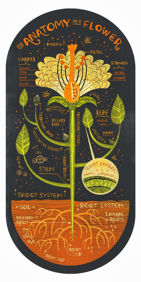 Learn the parts of the flower on this beautiful  illustration by Rachel Ignotofsky - From Moon to Moon
