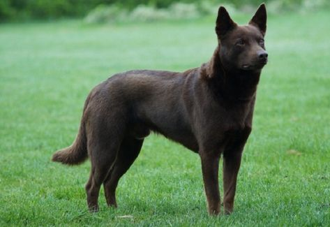 Australian Kelpie Price Colors Size Characteristic Appearance Health Puppies Rescue Australian Kelpie Dog Australian Dog Breeds Australian Kelpie