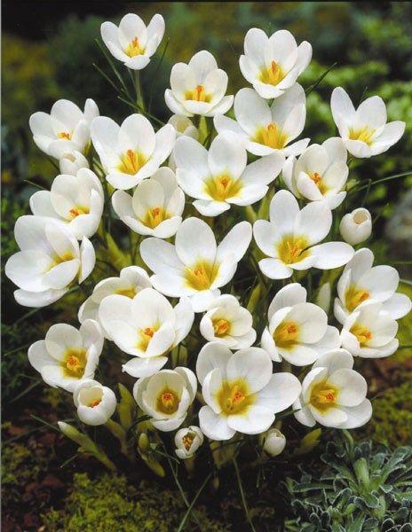 Crocus Snow Bunting Crocus Bulbs Crocus Bulbs Crocus Plants