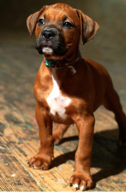 Pitbull Mix Training Tips Cute Pitbull Mix Labrador Mischling Welpen Pitbull Terrier Pitbull Boxer