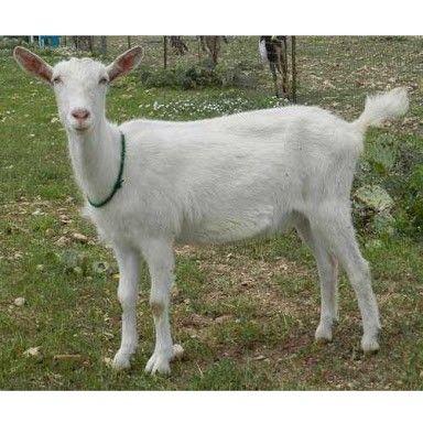 Saneen goat | Animal production | Goats, Farm animals, Animals