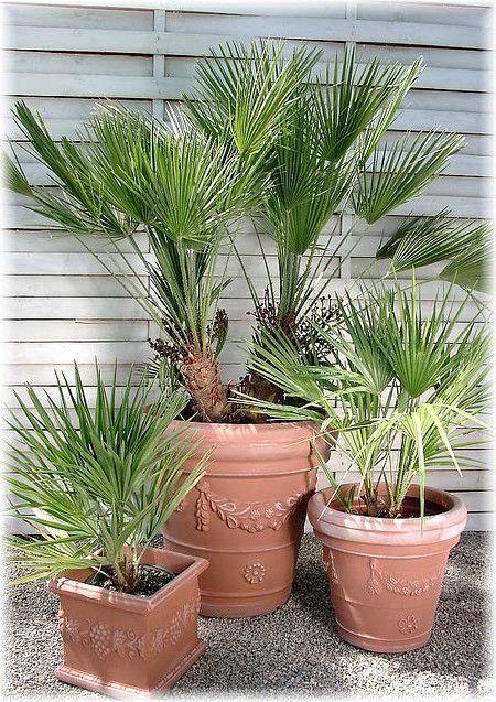 Zwerg Palme Chamaerops Humilis Pflanzen Palmen Pflanzen Winterharte Palmen