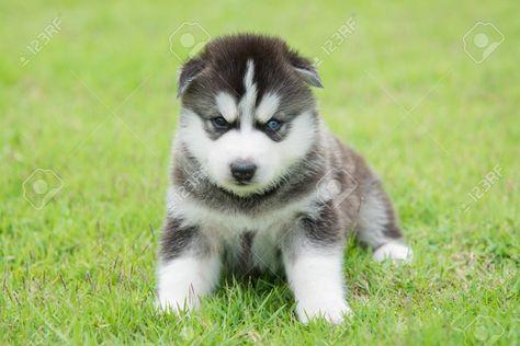 Blue eyes siberian husky puppy lyingand looking on green grass
