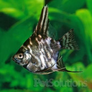 Angelfish And Discus Are Popular Freshwater Fish For Aquariums. We Have A  Wide Variety Of Both Freshwater Angelfish And Discus Fish For Sale.