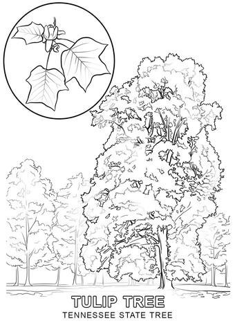 Click To See Printable Version Of Tennessee State Tree Coloring