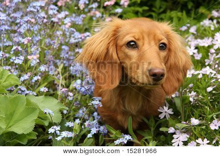 Dachshund Puppy Surrounded By Spring Flowers Poster In 2020