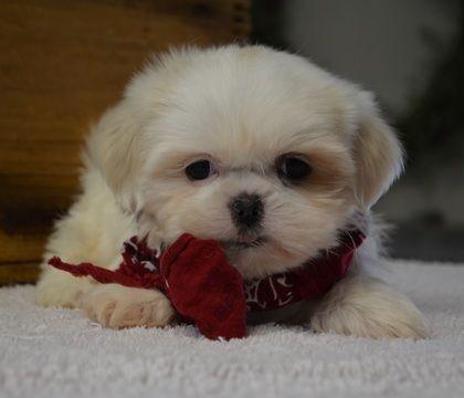 Shih Tzu Puppy For Sale In Tucson Az Adn 65646 On Puppyfinder Com Gender Male Age 9 Weeks Old Shih Tzu Puppy Shih Tzu Puppies For Sale