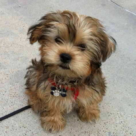 Jax My Shorkie Tzu Shorkie Puppies Morkie Puppies Puppies