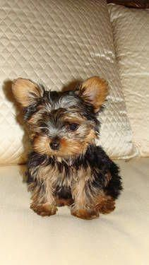 Facts On The Tenacious Yorkshire Terrier Dogs Temperament