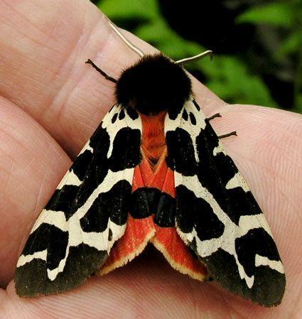 Gartentigermotte Die N Gartentigermotte In 2020 Tiger Moth Moth Insects