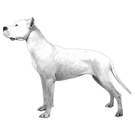 Akc Dogo Illustrated Standard Dogo Argentino Dog Dog Breeds
