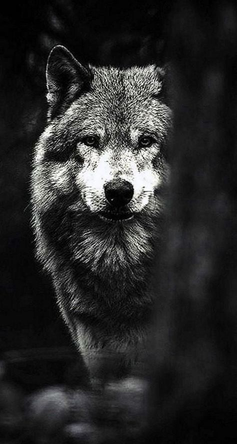 51 Ideas For Wall Paper Dark Wolf Animal Wallpaper Iphone Wallpaper Wolf Wolf Wallpaper Black wolf hd mobile wallpaper