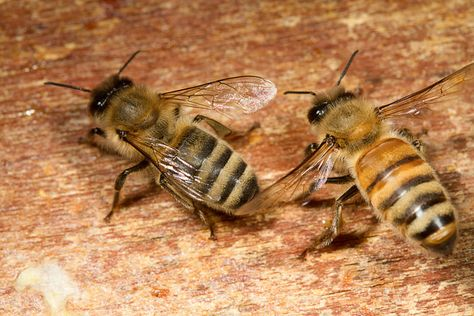 A Guide to the Different Types of Honey Bees: Different honey bee races have different pros and cons. Learn more about which may be best for you as you learn how to keep bees.   Read more: http://www.motherearthliving.com/gardening/gardening-projects/types-of-honey-bees-ze0z1303zgar.aspx#ixzz3AefEes7X