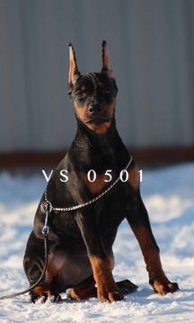 Doberman Pinscher Puppy For Sale In Murrieta Ca Adn 68690 On Puppyfinder Com Gender Female Age 13 Weeks Old Puppies For Sale Doberman Pinscher Puppy