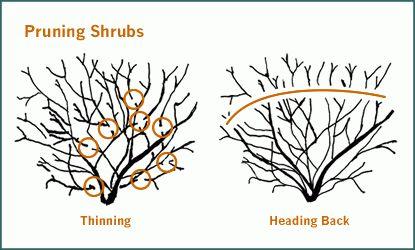 How to prune shrubs