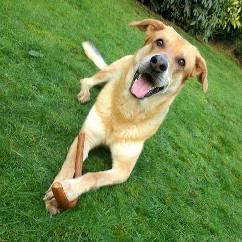 Schäferhund-Collie-Labrador LoCo Liebe Nina! Eines wollt ich dir mal wuffen: Ohne dich ist alles doof <3 #Hundename: LoCo / Rasse: #Schäferhund-Collie-Labrador      Mehr Fotos: https://magazin.dogs-2-love.com/foto/schaferhund-collie-labrador-loco/ Foto, Frauchen, Hund, Liebe