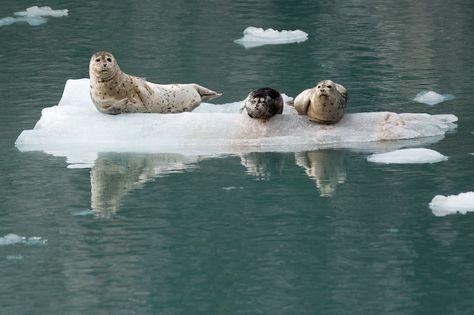 Harbor Seals - Kenai Fjords National Park