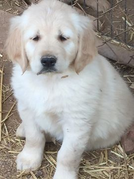 Golden Retriever Puppy For Sale In Scottsdale Az Usa Adn 65838