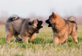 Sozialisierungsphase Das Sollte Ihr Hund Lernen Futalis De In 2020 Eurasier Hunde Hunderassen