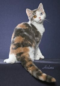 Curly Haired Cat Breeds - Here you will find a list of cat breeds with a curly coat.