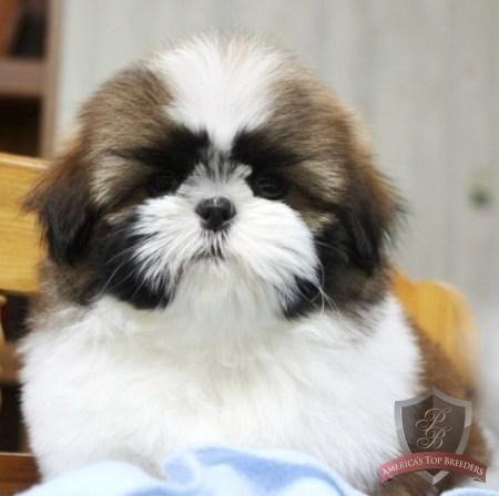 Shih Tzu Puppy Jasper Pet Training Tips And Hints Shih Tzu