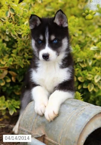 Siberian Husky One Friendly And Playful Dog Husky Puppies For
