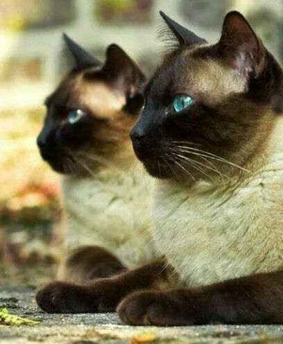 Best Siamese Cat Names Cat Breeds Siamese Cats Simease Cats Cats