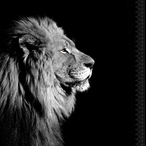 Plexiglass Imprimé Noir Blanc Lion De Profil Noir Blanc