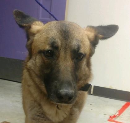 Animal Id 37925049 Species Dog Breed German Shepherd Mix Age 5