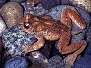 オガエル 体長 4cm 分布 北アメリカ カエル画像まとめ イモリ 両生類